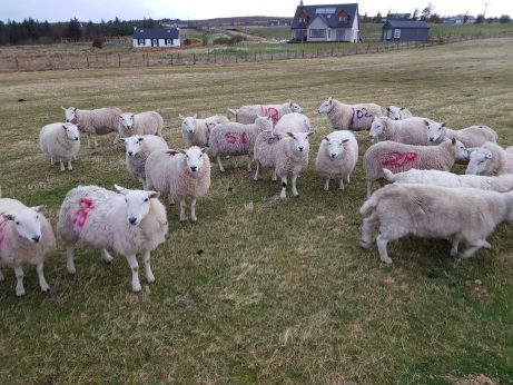Marked Ewes