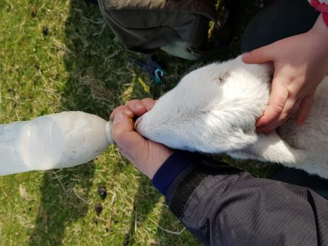 Feeding a lamb