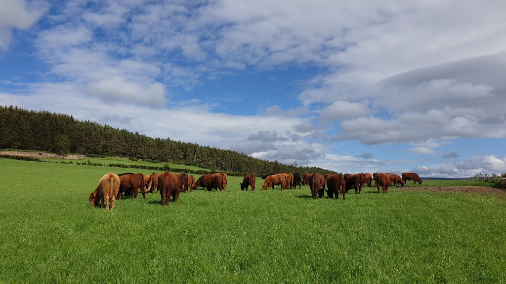 Finishing Cattle Grazing